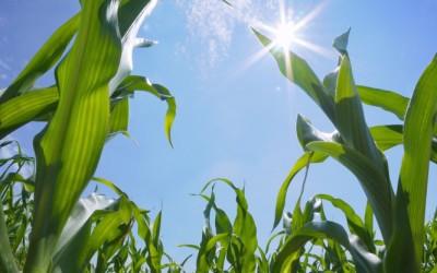 Labirynt z kukurydzy w Kobierzycach